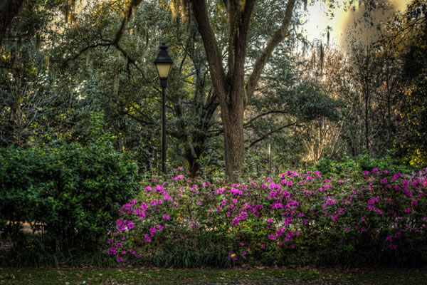 Azaleas blloming amongst the Oak Trees in Forsyth Park