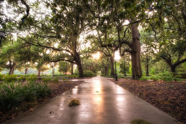 Oak Trees, which are plentiful in Forsyth Park, and all of Savannah Georgia